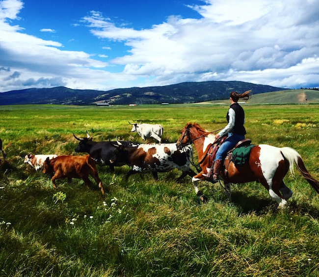 cattle drive at The Resort at Paws Up