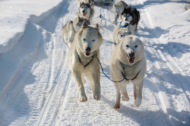 Dog Sledding the resort at paws up