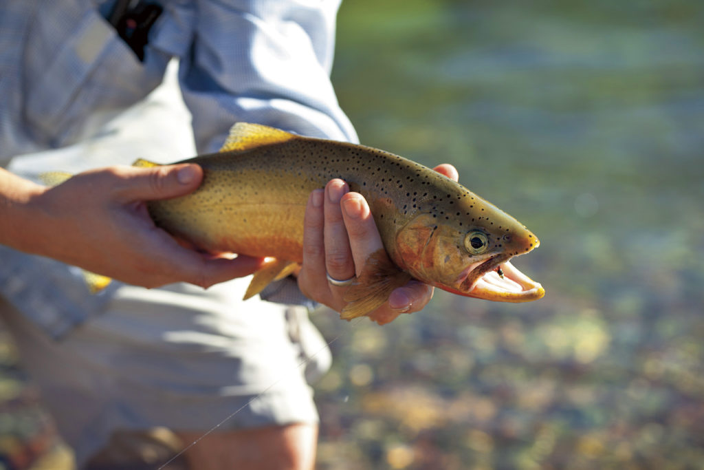 In Montana, the Trout Rise as Surely as the Sun